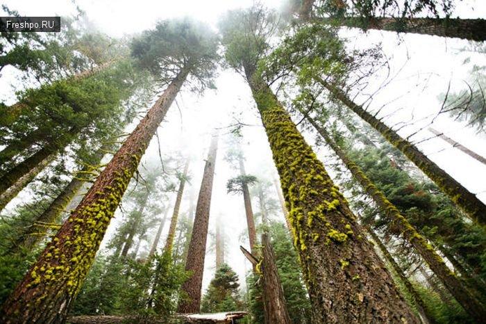 Знаете какое дерево, самое большое в мире? Верно, это Секвоя! Классные фотки