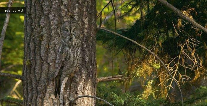 Найди сову на картинке - удивительная природная окраска животных