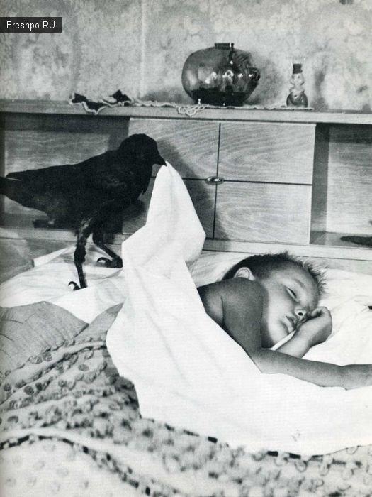 Умная ворона - нянька, укрывает ребенка