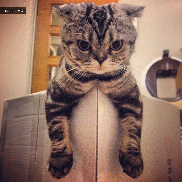 """Кот по имени Позирующий кот """"Шиши Мару""""  или кошачья звезда фоторедактора Instagram"""
