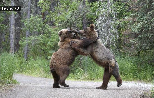 Битва двух молодых медвежат - очень жестокие фотографии +21