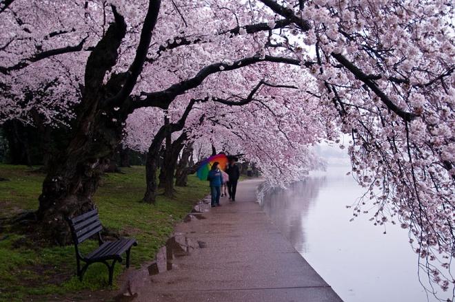 Самые красивые вишневые сады в мире!
