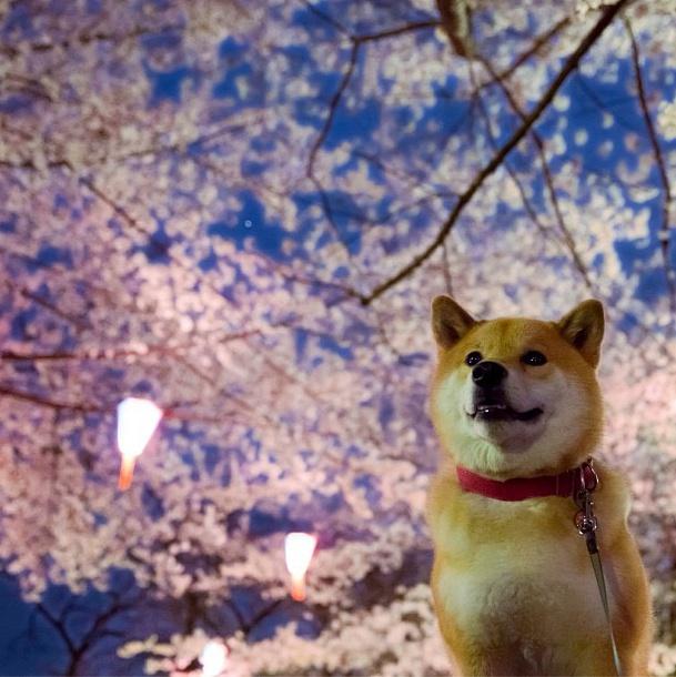 Пес Маруто в Инстаграмм - самые лучшие фото