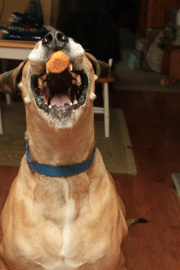 Забавный пес ловит огромной пастью куриные наггетсы