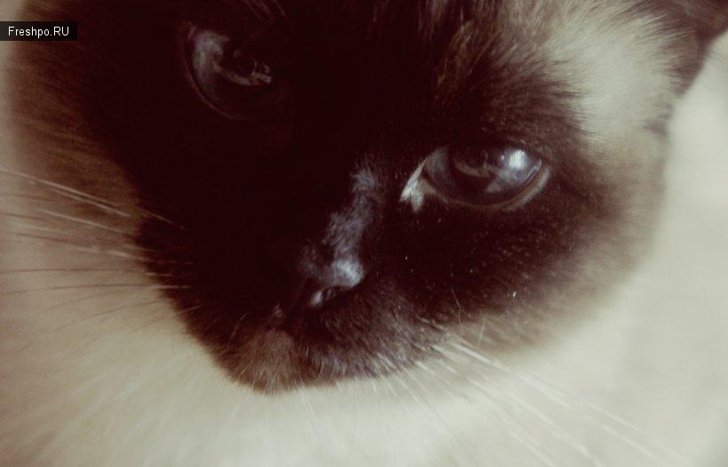 Позирующая кошка Дуся)