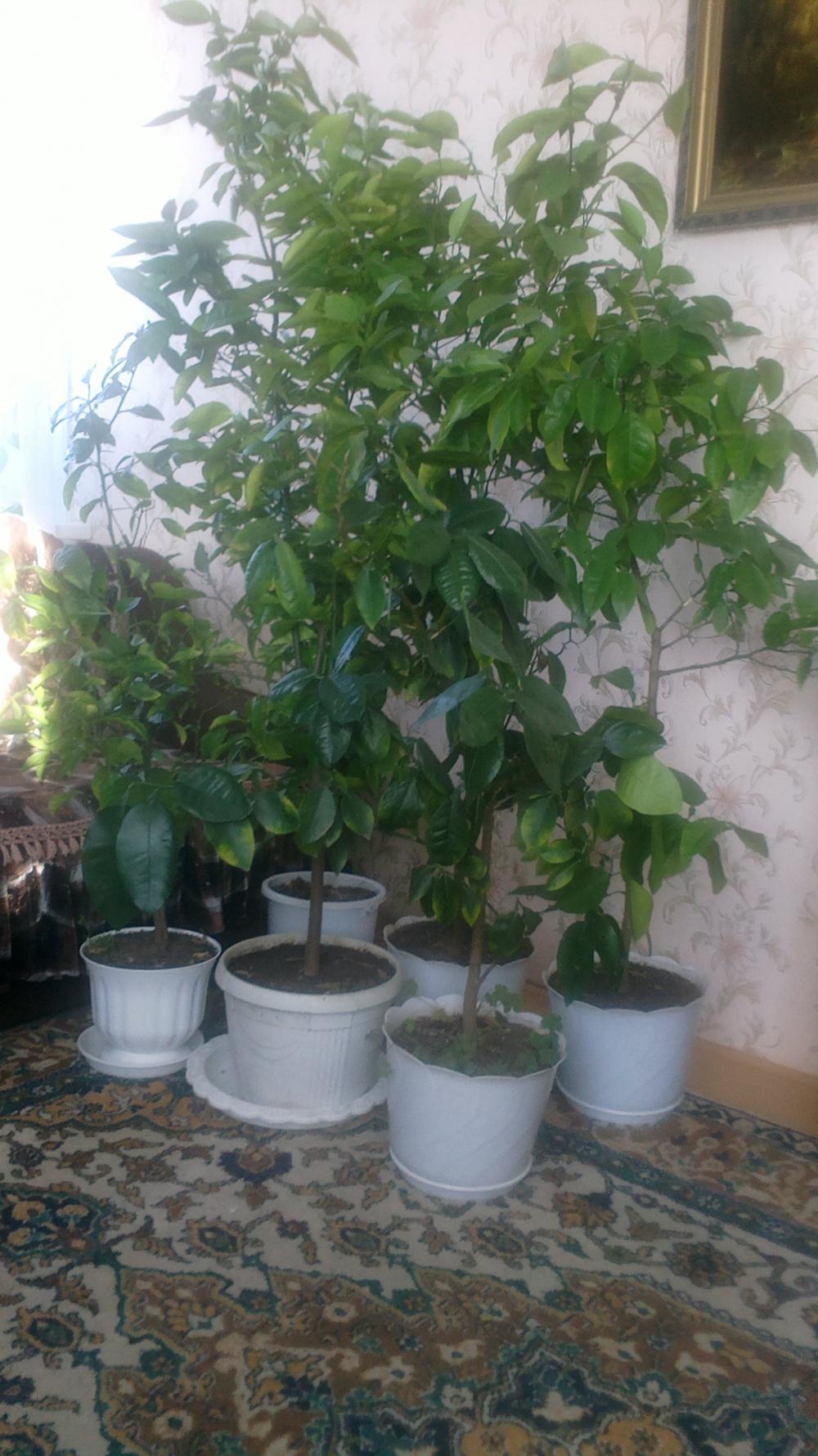 Как вырастить персиковое дерево из косточки в домашних условиях фото